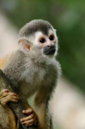El macaco es igual a éste. Foto: Google