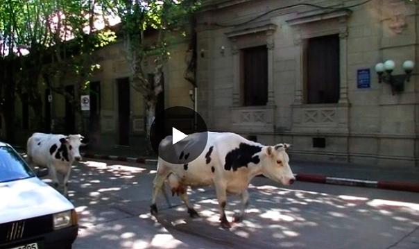 vacas-tres